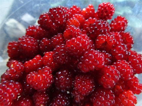 wild red raspberries picture 6