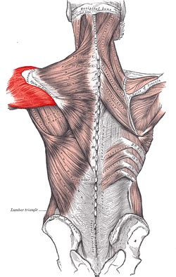 deltoid muscle picture 11