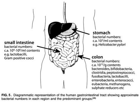 yeast in intestines picture 5