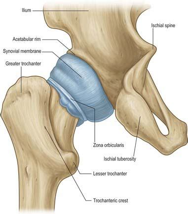 anatomy of hip joint picture 5