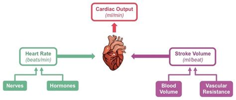 human liver diagram picture 10
