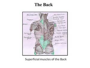 muscle s in back herbs picture 3