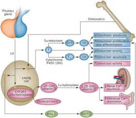 testes testosterone function picture 3