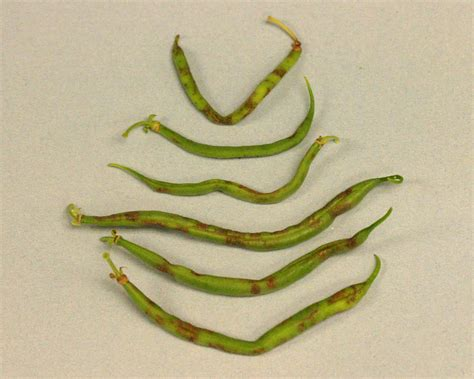 what will kill virus on green beans picture 1