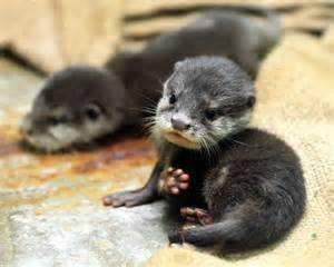 diet baby river otters picture 7