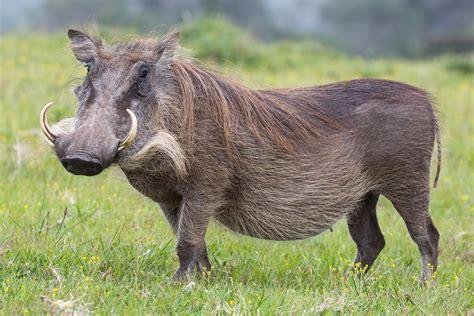 wart hog picture 9