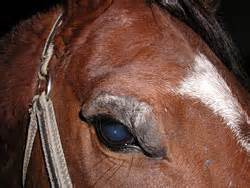flat gray warts in their ears of horses picture 6