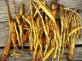 yellow dock root picture 1