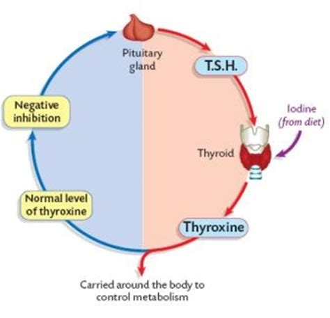 can low levels of thyroid hormone affect fetus development picture 11