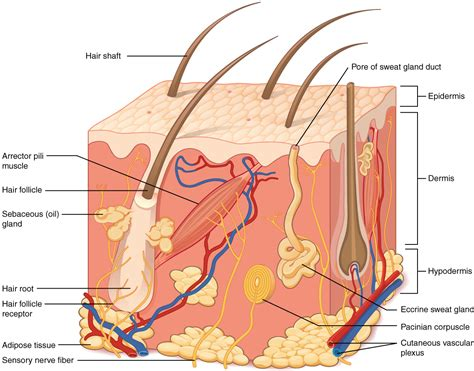 structure of the skin models picture 11
