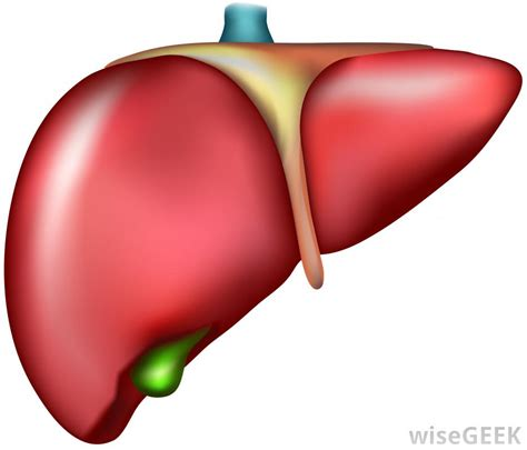 where is the liver picture 19