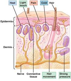 how many nerve endings in lips picture 3