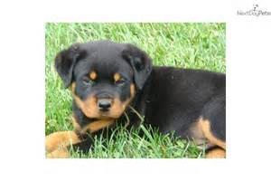 wrinkles on a rottweiler picture 17