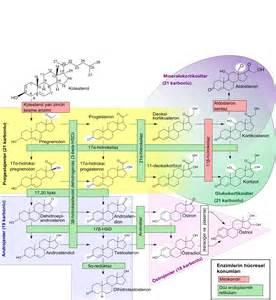 hormones picture 7