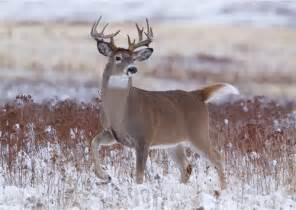 erect whitetail deer penis pics picture 1