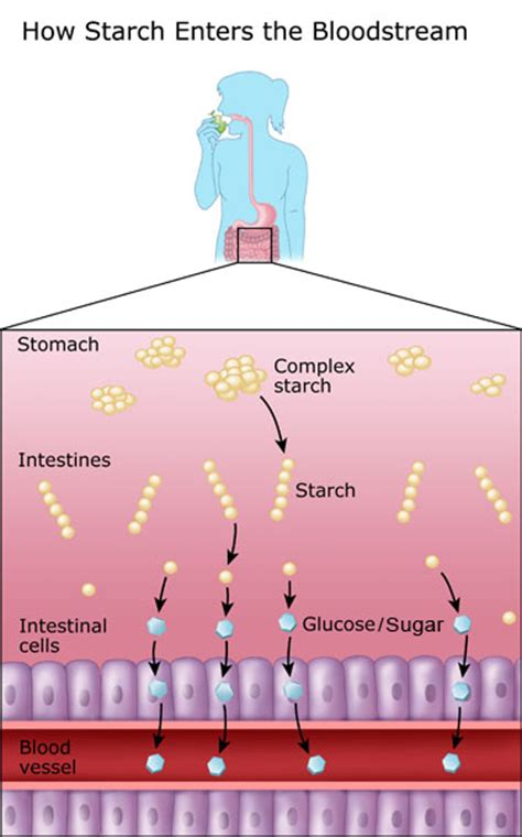 anatomy digestion picture 10