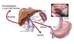 anatomy rat liver picture 15