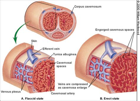 causes of retricted blood flow to male genitals picture 4
