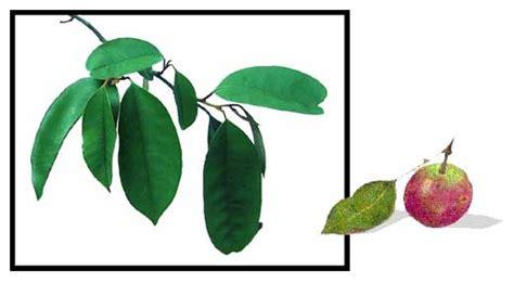herbal na gamot para sa maga ang atay picture 6
