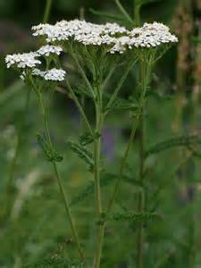 yarrow and erflies picture 17