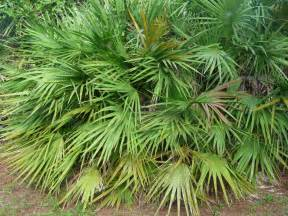 Saw palmetto picture 2