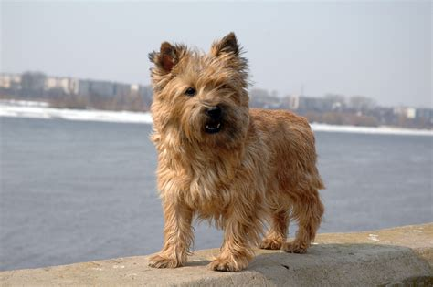carin terrier hair cuts picture 6