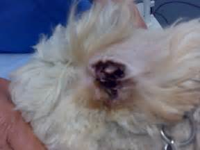 pictures of dogs with yeast infections picture 9