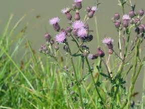 canadian thistle picture 9