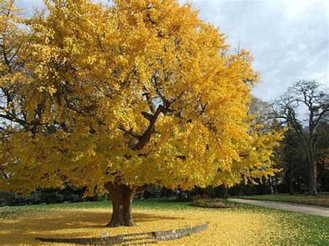 information on the ginkgo tree picture 9