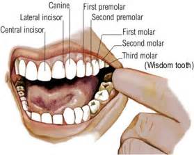 do canine teeth grow back picture 3
