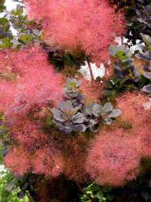 smoke tree or smoke bush picture 3