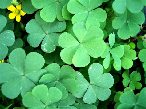 clover picture 1