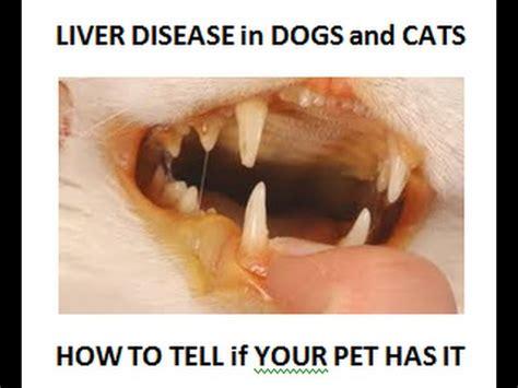 cat liver failure picture 15