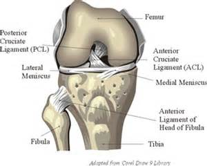 anotomy of knee joint picture 19