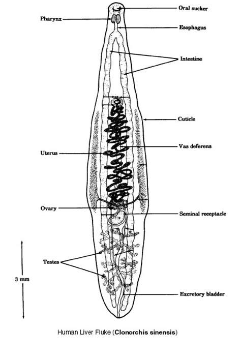 flukes in bladder picture 1