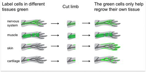 stem cells regrow h picture 17