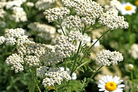 yarrow use picture 2