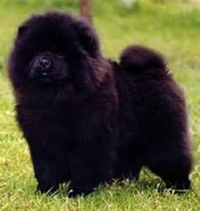 liver diseases and chow chows picture 1