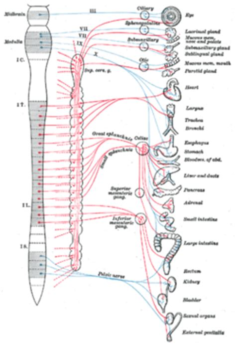 function of the ciliary muscle f picture 10