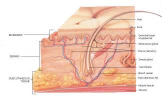 skin anatomy picture 15