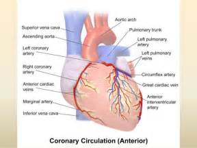 coronary blood flow picture 14