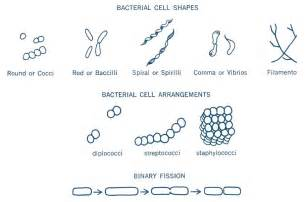 shape of bacterial dna picture 3