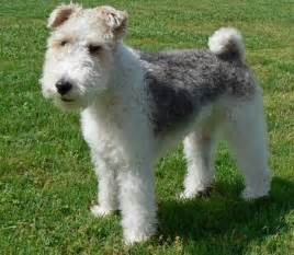 long haired foxterrier picture 9