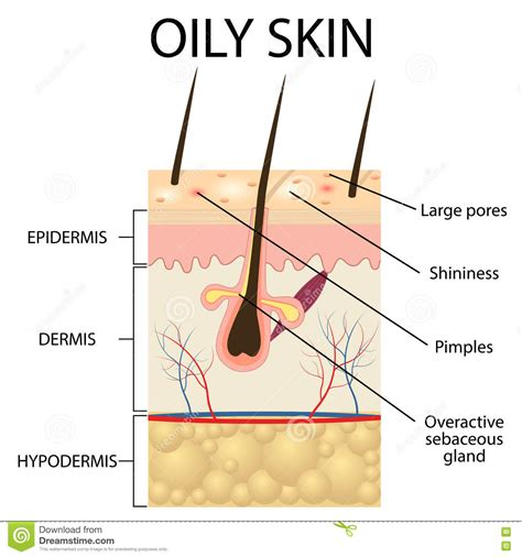 diagram of how oil penetrates skin picture 12