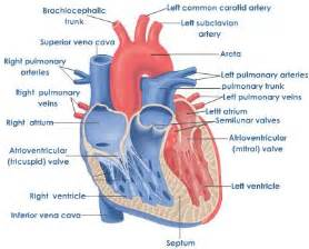 heart blood flow prezi picture 2
