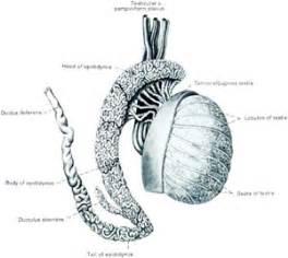Epidytimis vasectomy picture 11