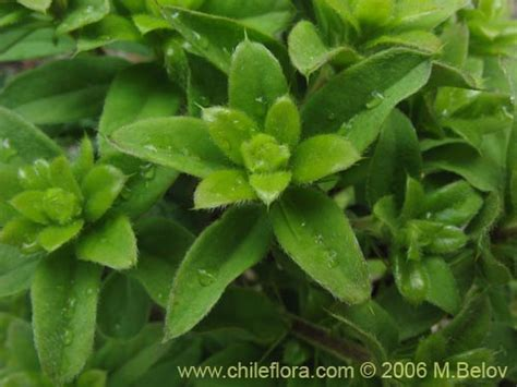 where can you buy palo dulce plant? picture 7