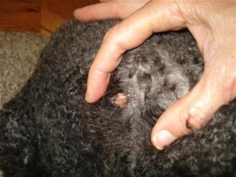 warts that smell on dogs picture 6