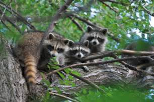 does a racoon sleep in a tree picture 1