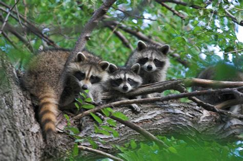 does a racoon sleep in a tree picture 12